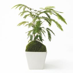かっこいい盆栽